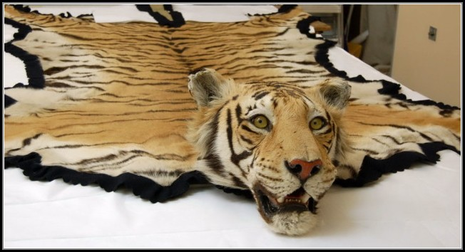 Real Tiger Skin Rug Rugs Home Decorating Ideas 4aw1dye8r2